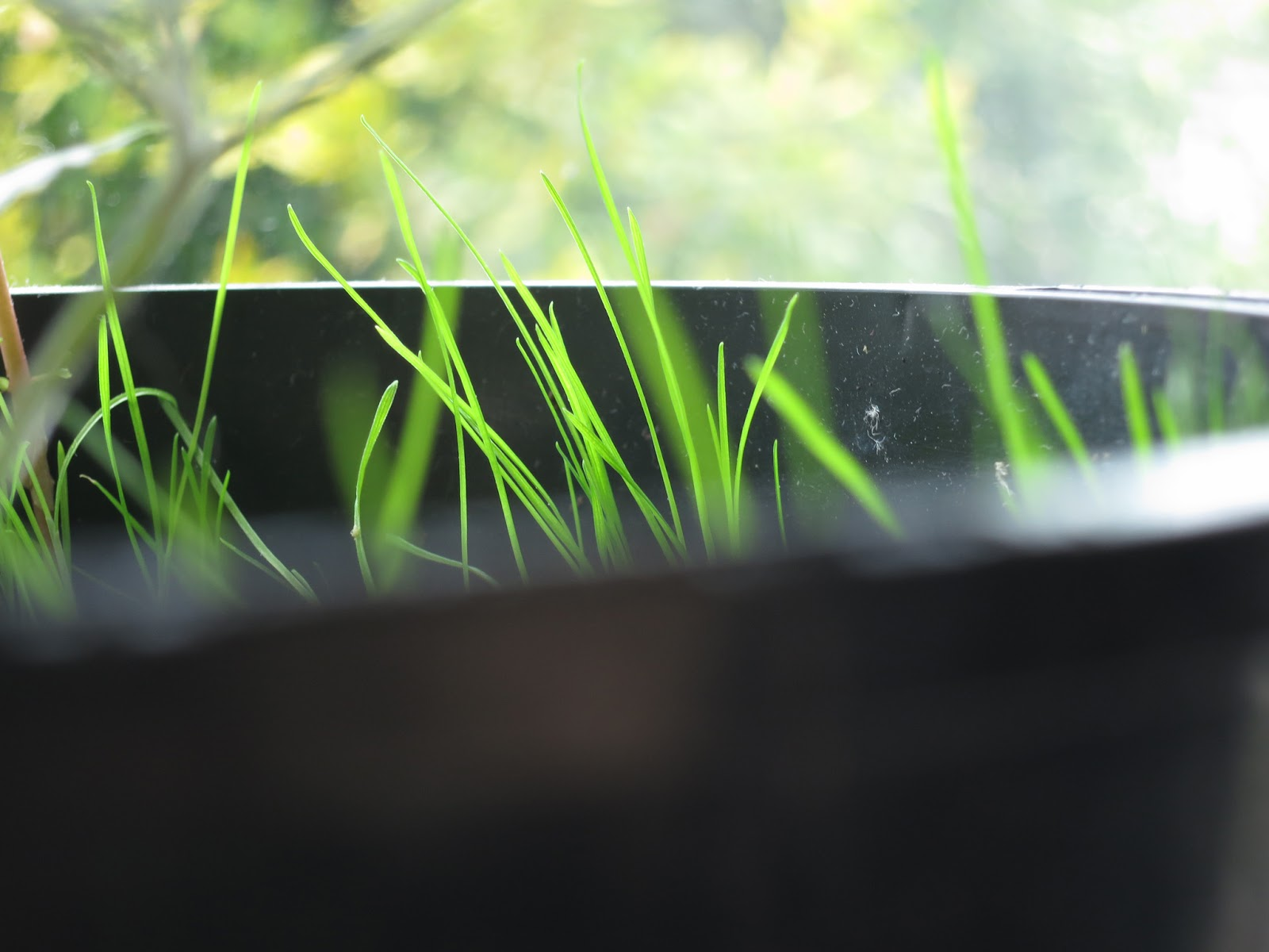 Young grass in a black pot on an indoor windowsill.