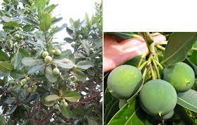 Forest4betterlife Nyamplung Calophyllum Inophyllum Untuk Konservasi Dan Cadangan Bahan Bakar