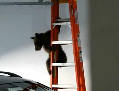osito bajando por una escalera