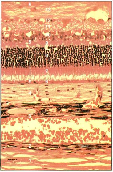 Eye Opener Anatomy Histology Of The Eye