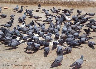 feral pigeons or city pigeons feeding