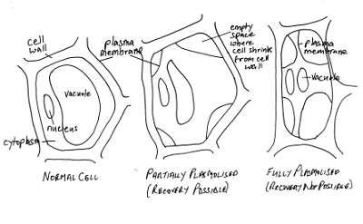 My broken garden stages of plasmolysis in hypertonic salt solution stages of plasmolysis ccuart Gallery