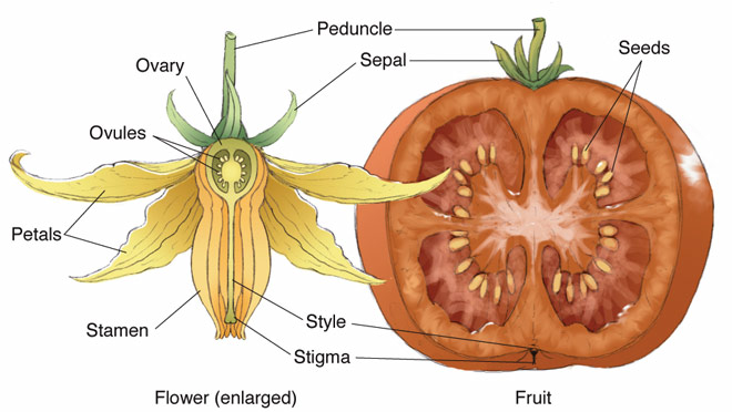 Gardening aloft blossom pollination diagram courtesy of biographixmedia ccuart Image collections