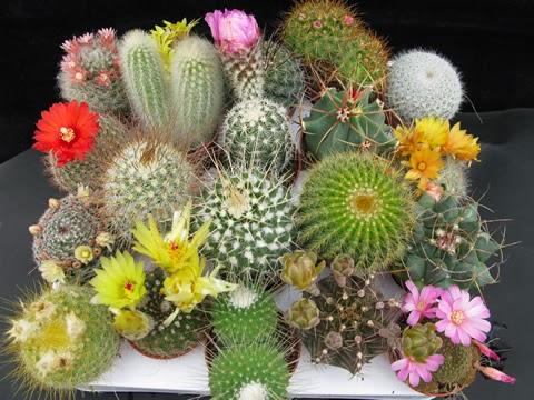 kaktusi cvetanje
