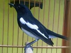 Memahami Cara Memaster/Mastering Burung Kicau Agar Efektif