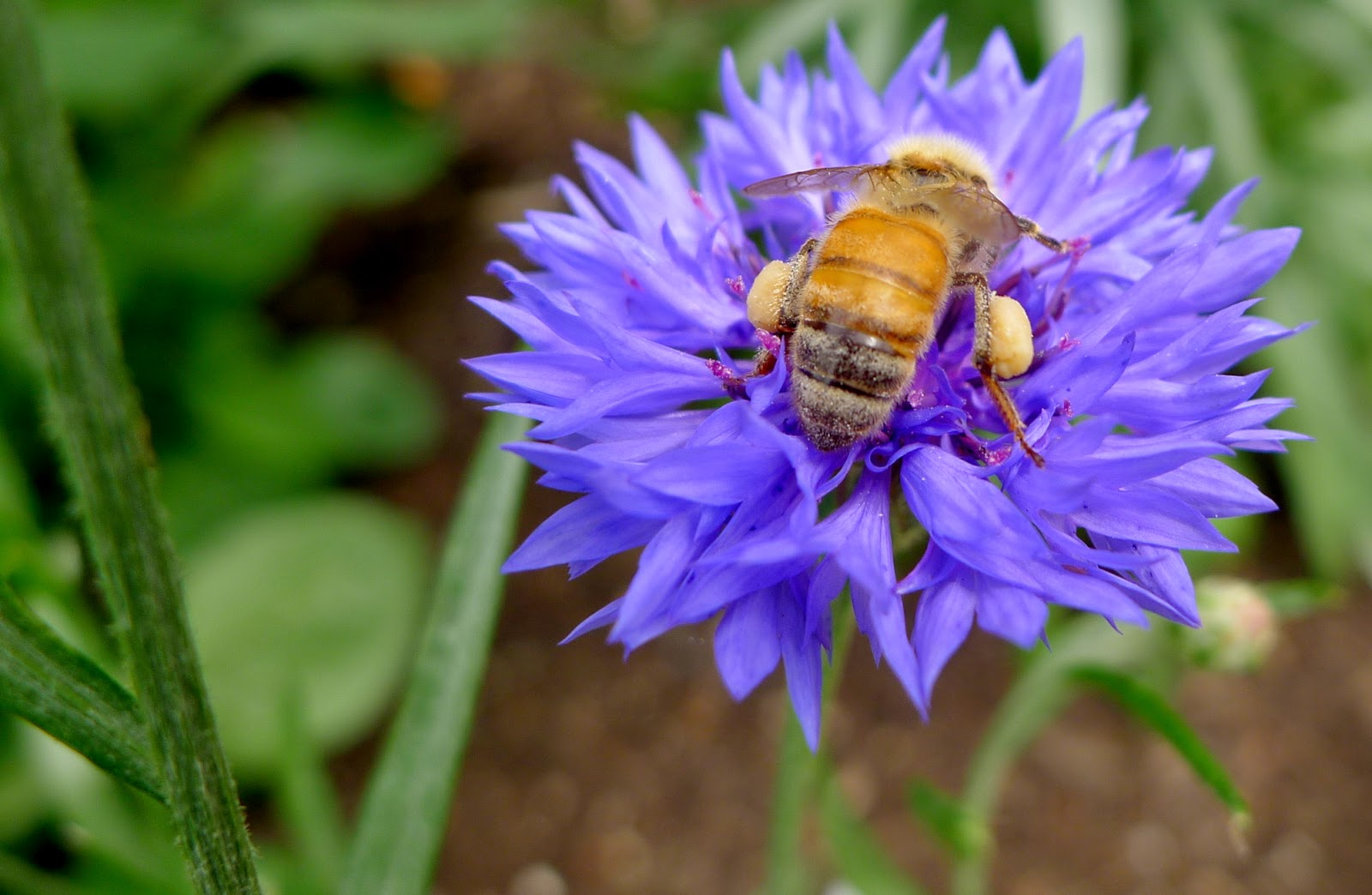 Honey Bee on Batchelor's Button, pollinators, urban farming