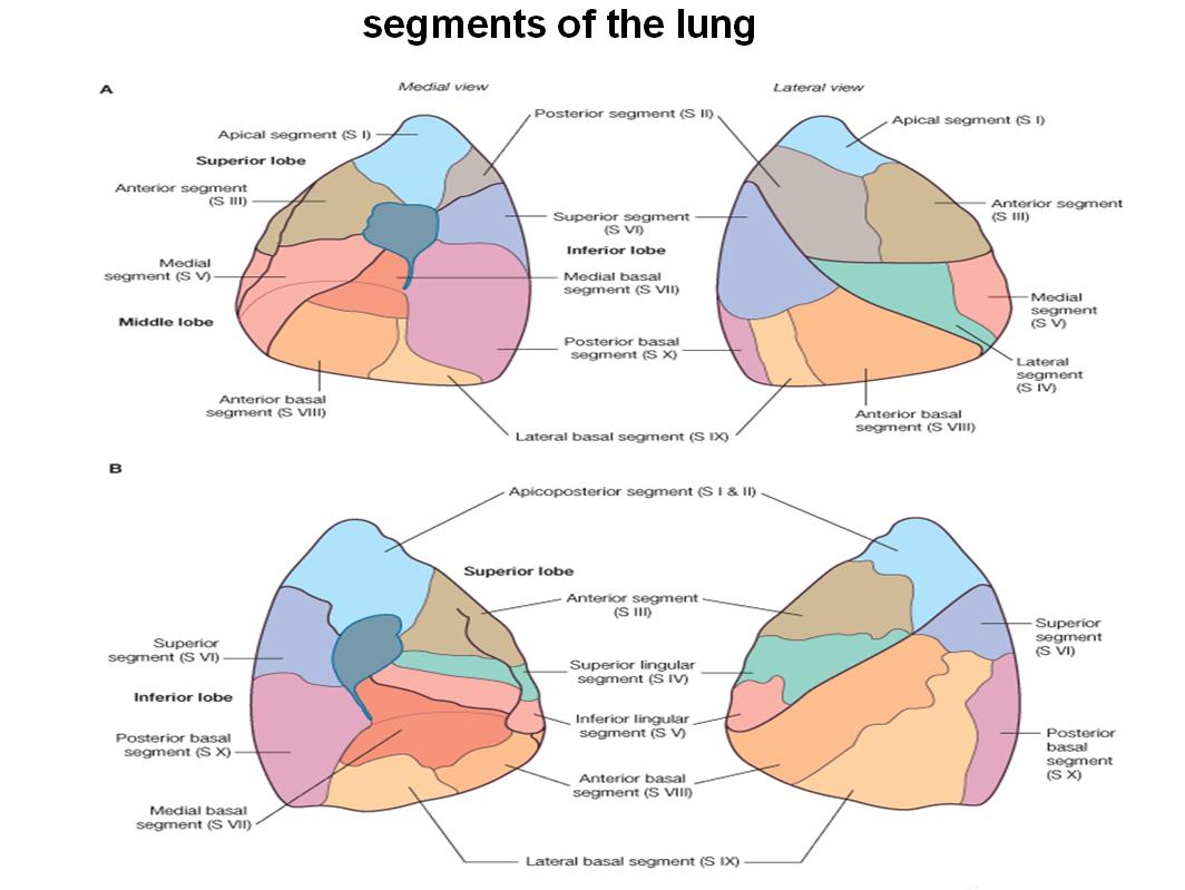 Bronchopulmonary Segments Radiology Golfclub