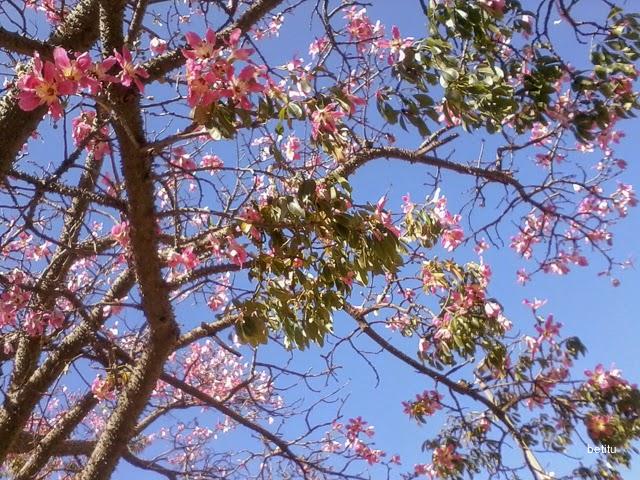 Palo borracho (Ceiba Speciosa) by betitu