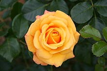 "Beautiful garden rose""Amber flash"""