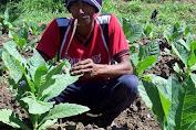 Harga Tembakau Turun, Para Petani Menderita Kerugian