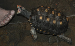 Toe Eating Tortoise