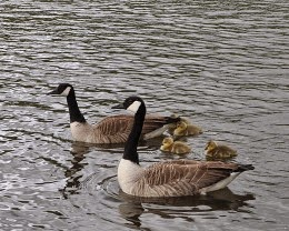 adult canada geese and goslings