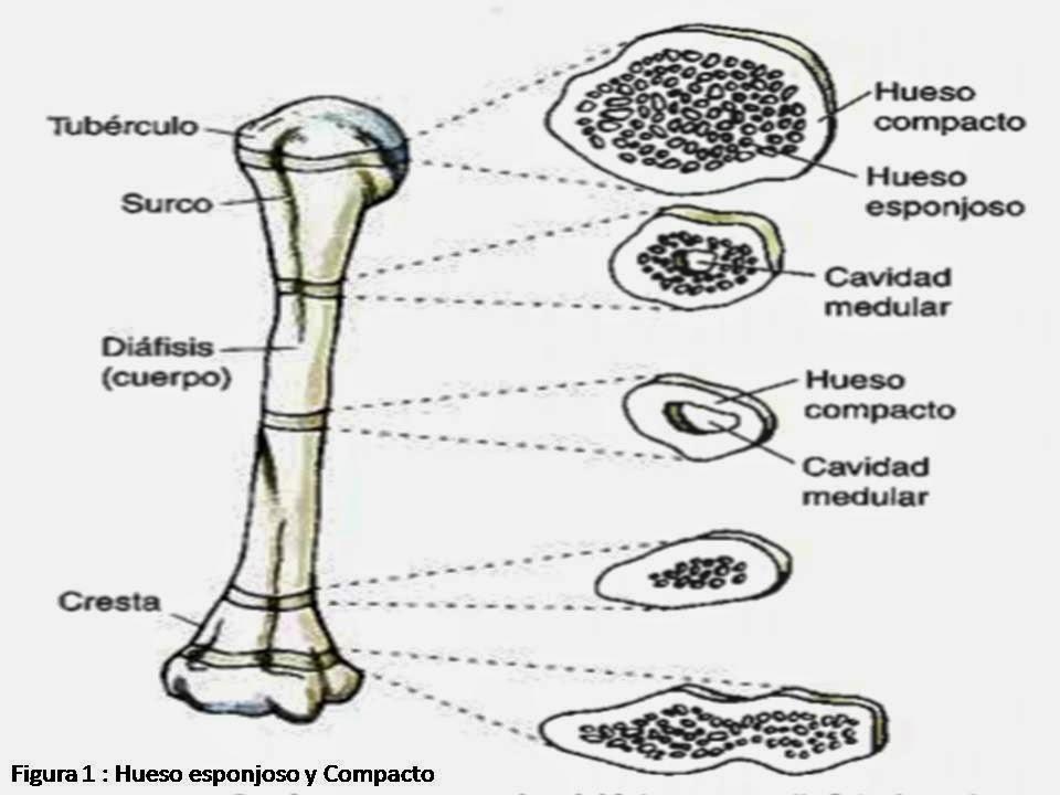 Excepcional Ubicación De Hueso Compacto Regalo - Anatomía de Las ...