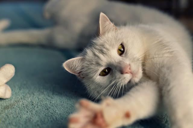 Pollux, Kater, Cat, Katze, Tier, Haustier, Stubentiger, white, weiß, xenobiophilia, freund, friend, animal, pet, lifestyle, blog, lifestyleblog