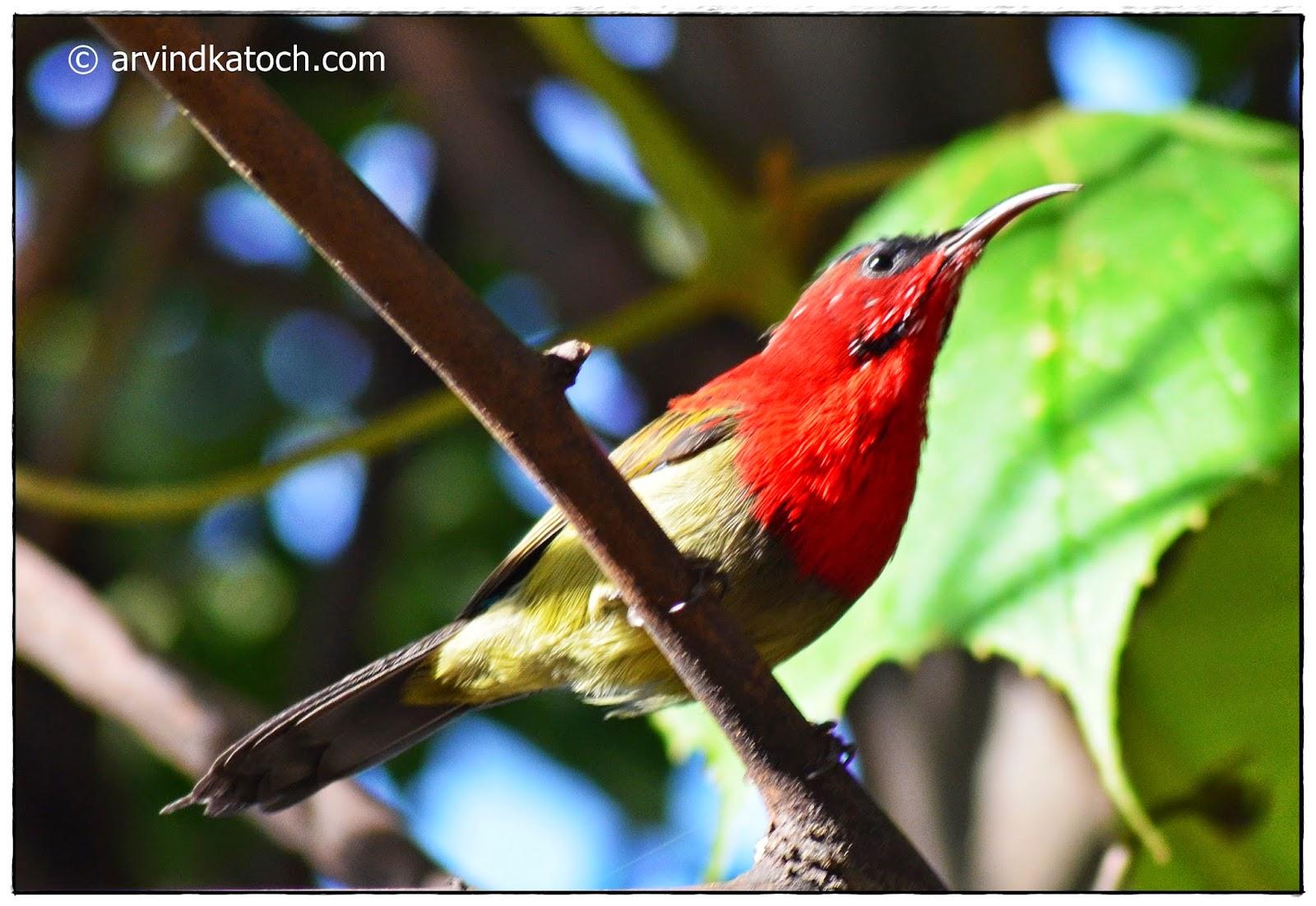Crimson Sunbird,