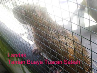 Gambar Geliga landak, buliga lisis,landak