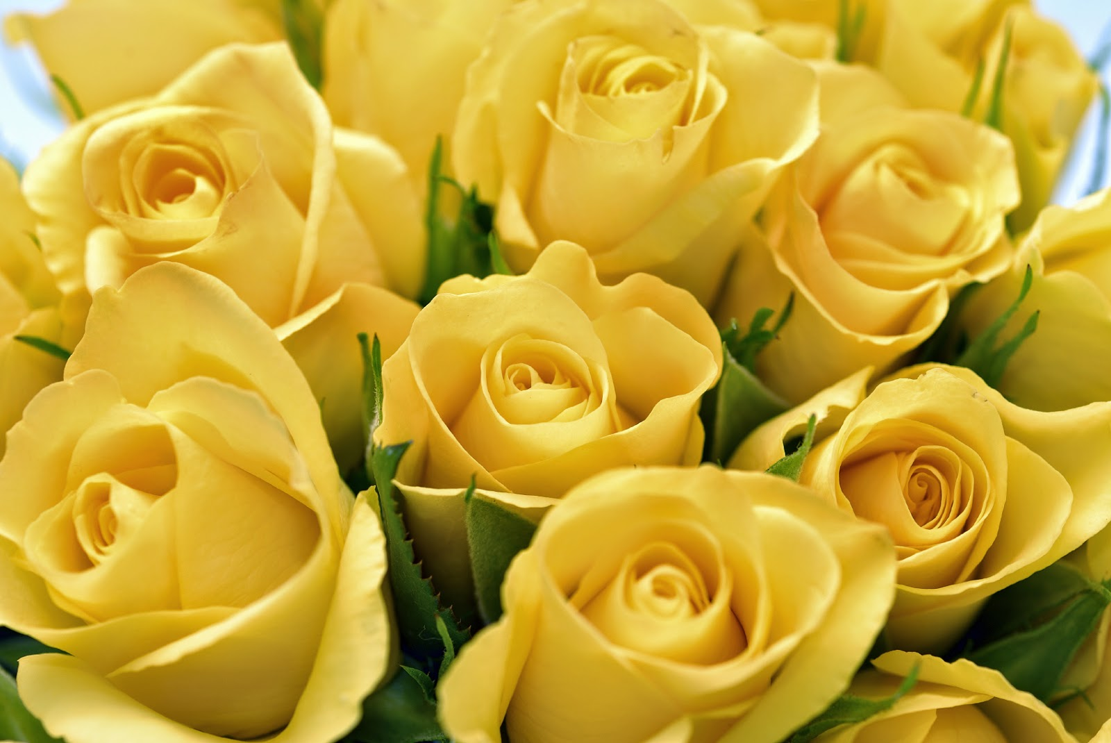 Yellow rose yellow rose meaning yellow roses - Yellow Rose Nas In Memory Of My Mom