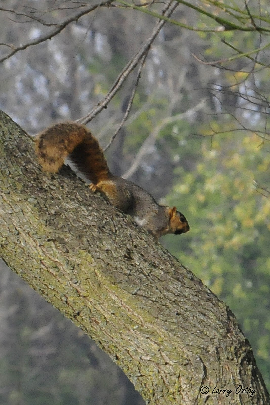 Gray fox squirrel