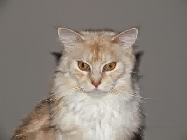 Cara Memilih Kucing Ras Maincoon