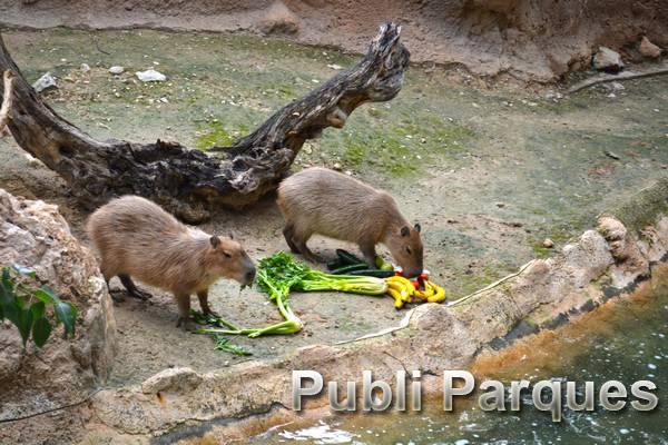 Cumple años capibaras