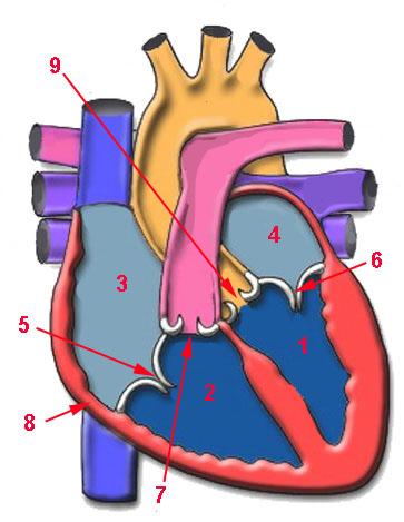 Resultado de imagen de corazón humano mudo