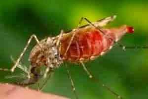 Малярийные комары, самка