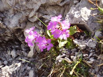 Primula Daonensis (Primula di Val daone)