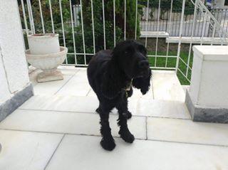 Βρέθηκε θηλυκό Κόκερ μαύρο 16/10/15 στην Φιλοθέη. Φοράει ταυτότητα με το όνομα Αλέξης.