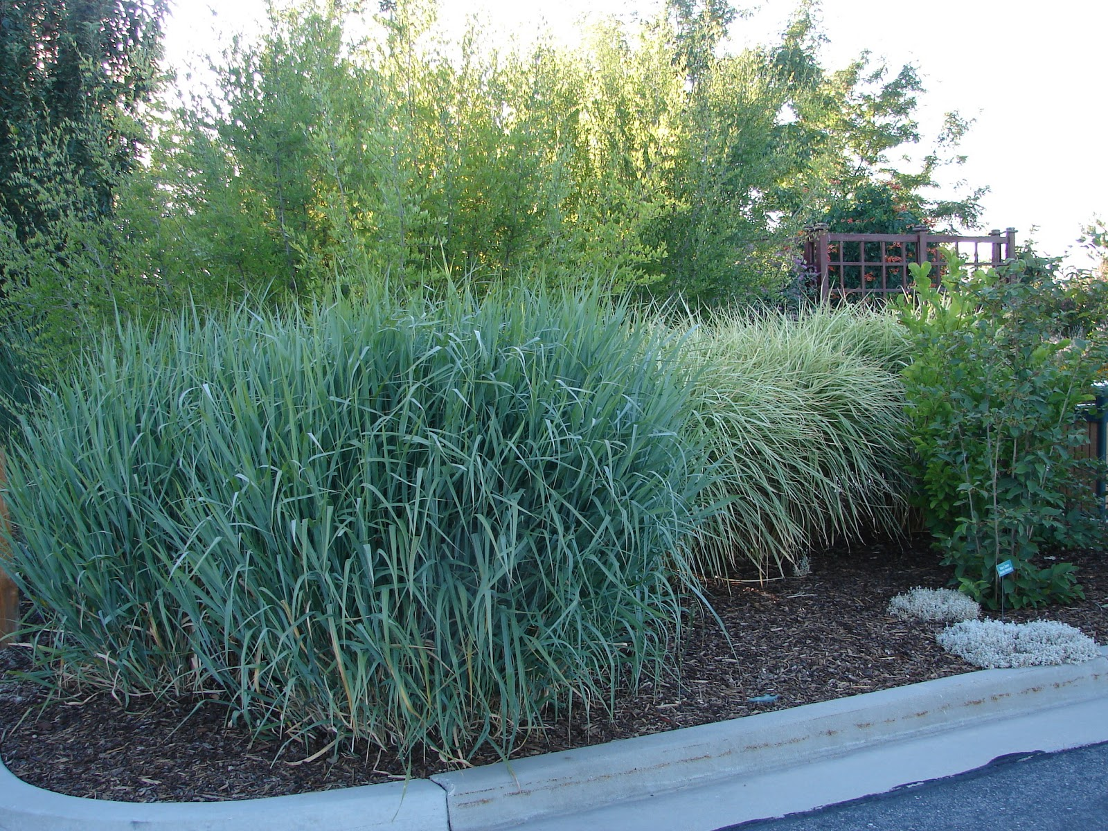 New utah gardener the most drought tolerant waterwise for Blue ornamental grass varieties