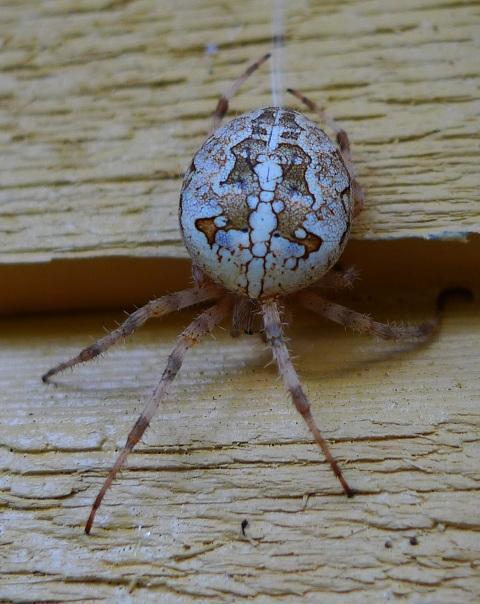Korsspindel - Araneus diadematus