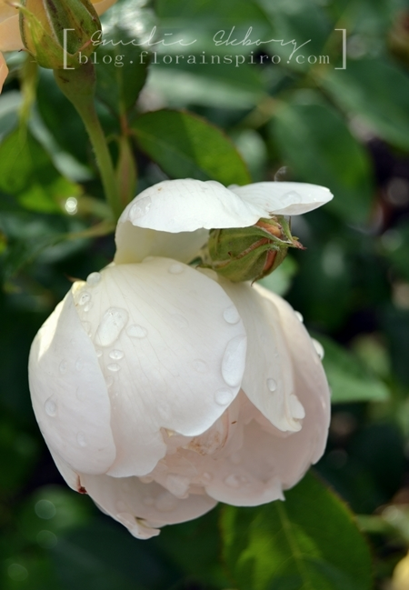 white garden rose, botanical garden gothenburg