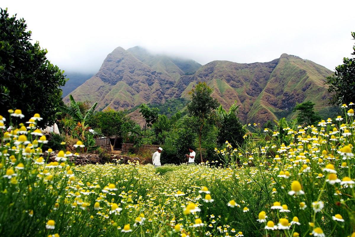 chamomile garden