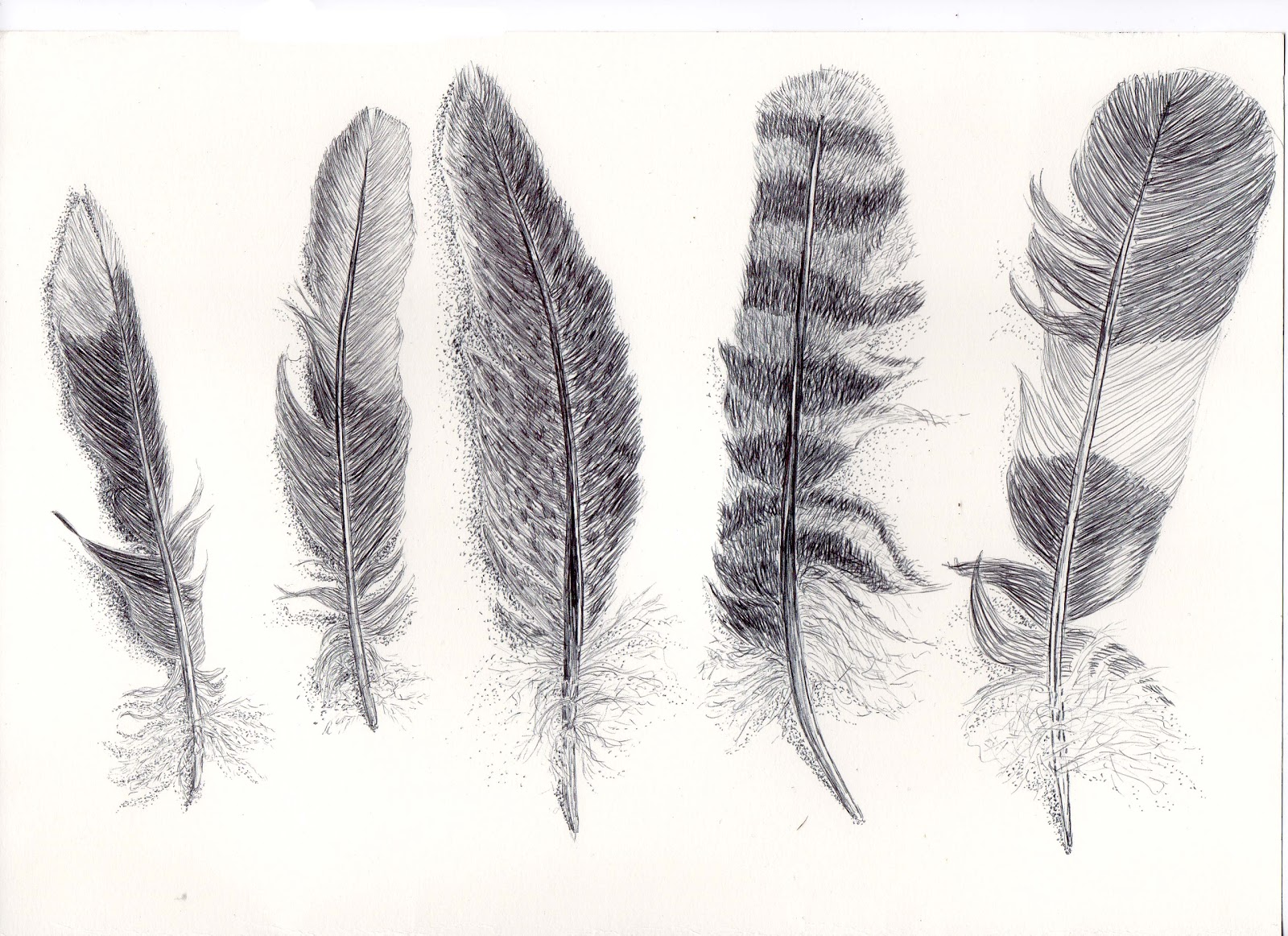 12.drawing 1 - detailed feather drawing