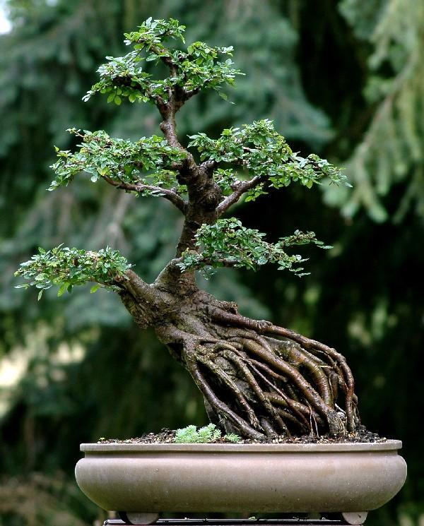 Curimentero mundo curioso poda y cambio de sustrato a - Tierra para bonsais ...