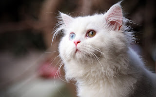 New White cat looking up, Cute Cats HD wallpapers,White Girly Cat HD Wallpapers, Widescreen, Animals