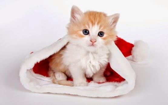 kucing lucu dan manis