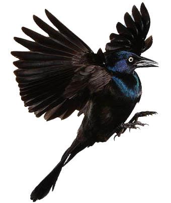 TATTOO SYMBOLISM: Blackbird Tattoo Symbolism