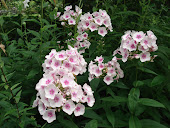 """Martha Washington"" Phlox"