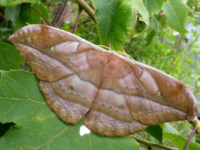 Copaxa rufijaliscensis female