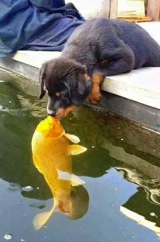 Cute Dog And Yellow Fish Kissing