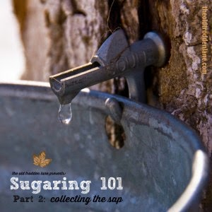 Sugaring 101: How to Collect Sap