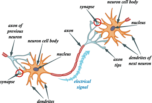 Conduction of nerve impulse simplebiology a nerve impulse is a wave of electrochemical changes which travels along the length of the neuron involving chemical reactions and movement of ions across ccuart Choice Image