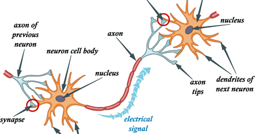 Conduction of nerve impulse simplebiology ccuart Choice Image