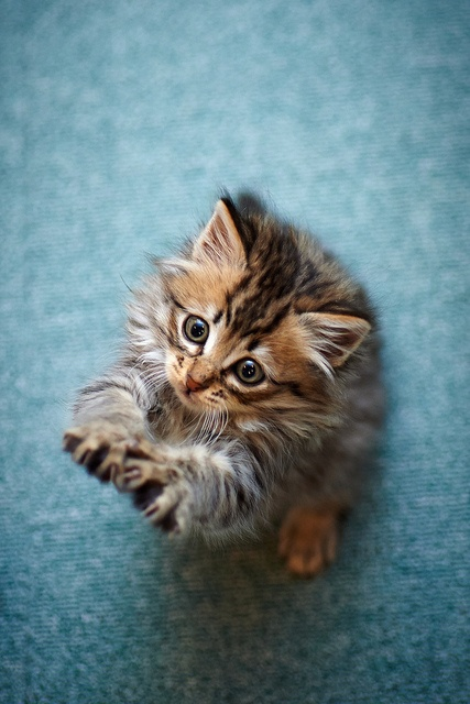 Little Maine Coon Kitten picture