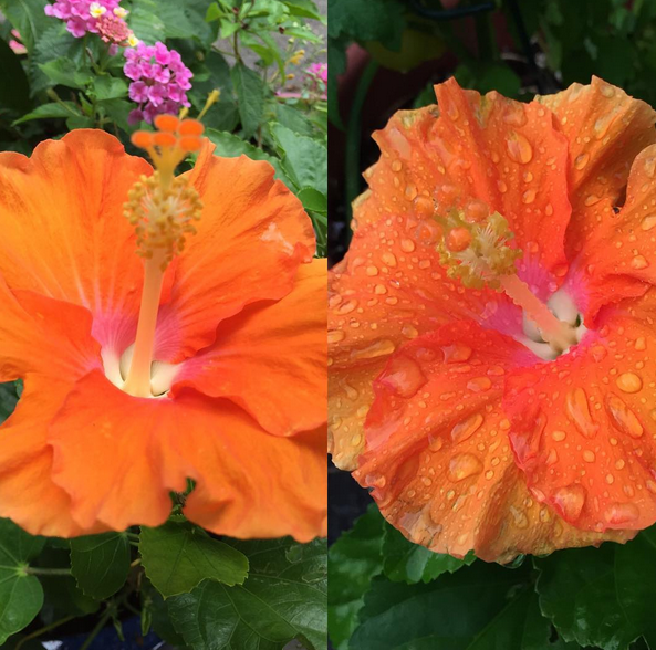 This Photo Was Taken In The Same Day. On The Left Was The Flower In The  Morning. The Right Shows How The Color Intensified During The Day, And Held  Up To A ...