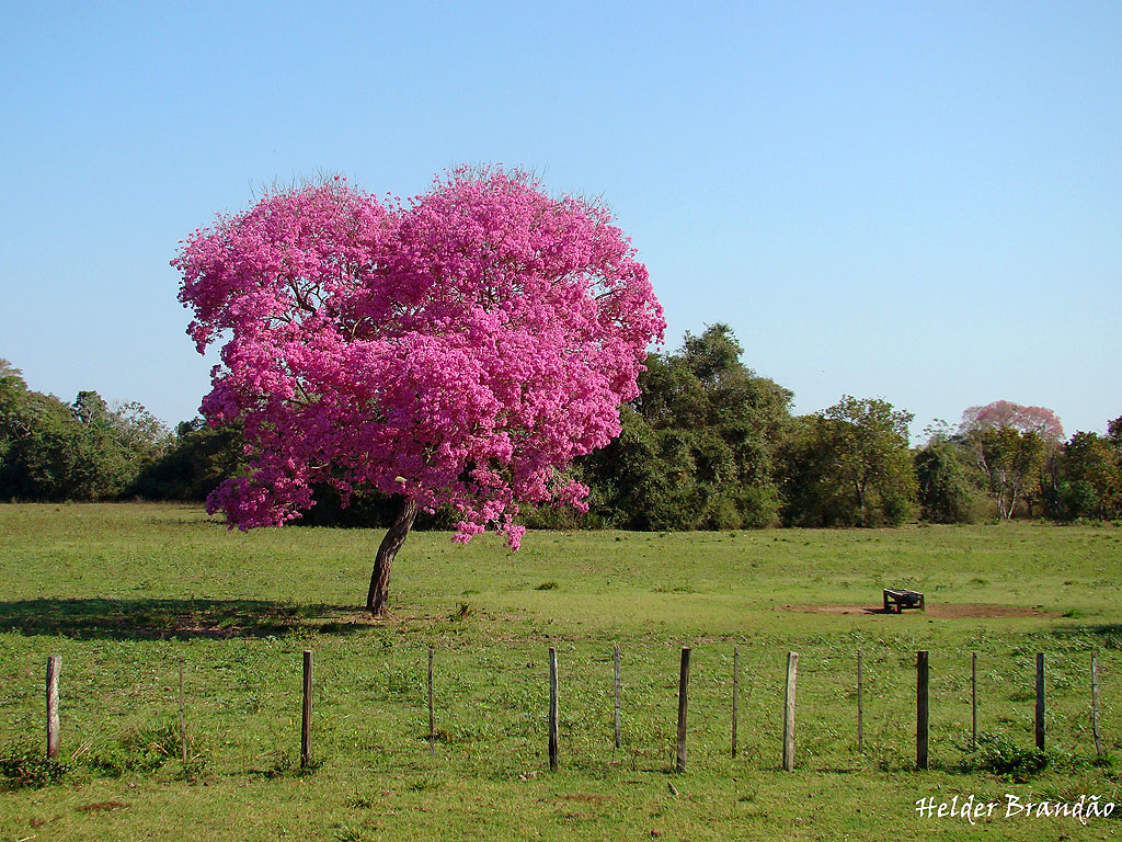 Happiness all around us flowering trees in india pink lapacho flowers between july and september before the new leaves appear in india the flowering season is december to january after the leaves are mightylinksfo