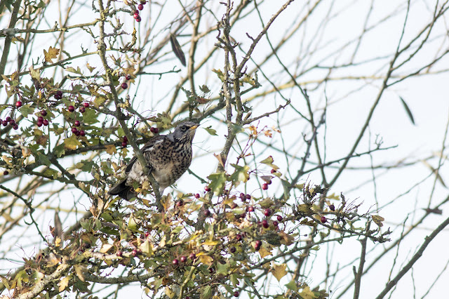 Fieldfare (heavy crop)