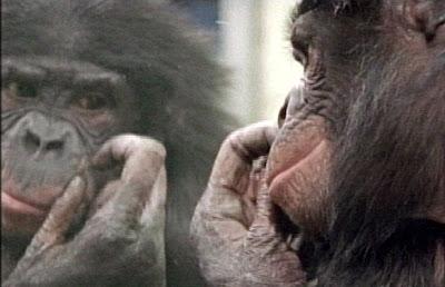 bonobo, uma das espécies não-humanas que se reconhecem no espelho