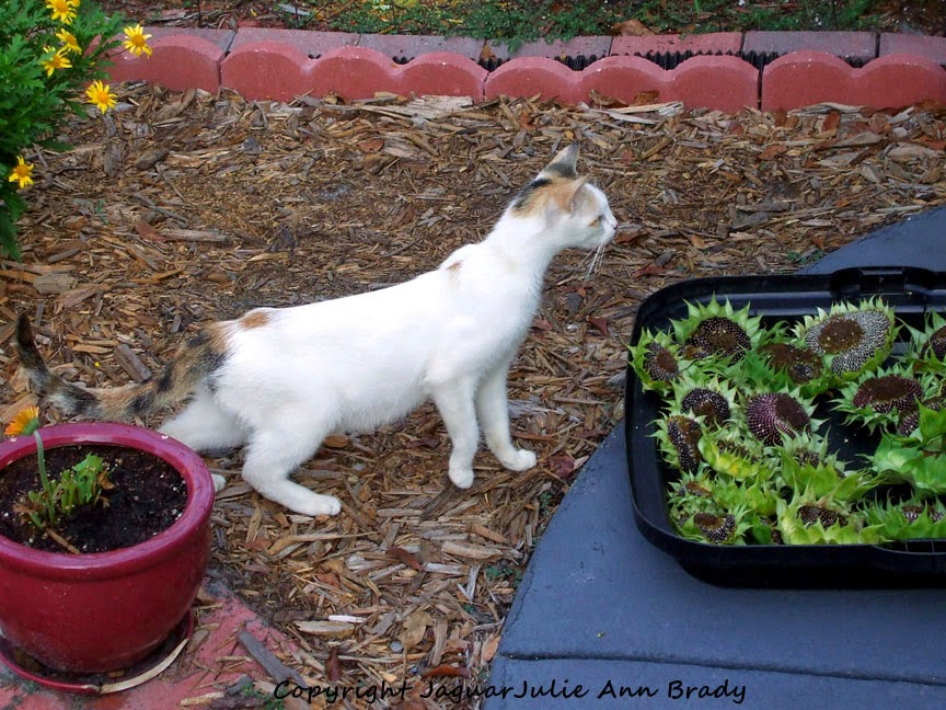 White Mommy Cat Inspecting Cut Sunflower Heads