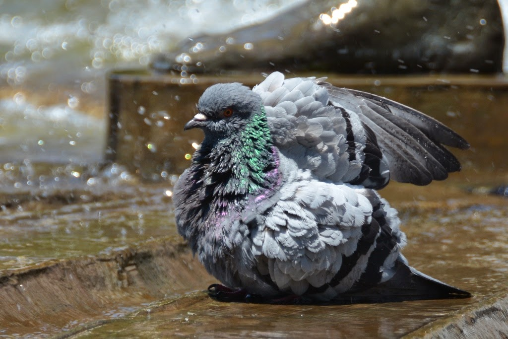 Plaza Espagna Madrid Pigeon